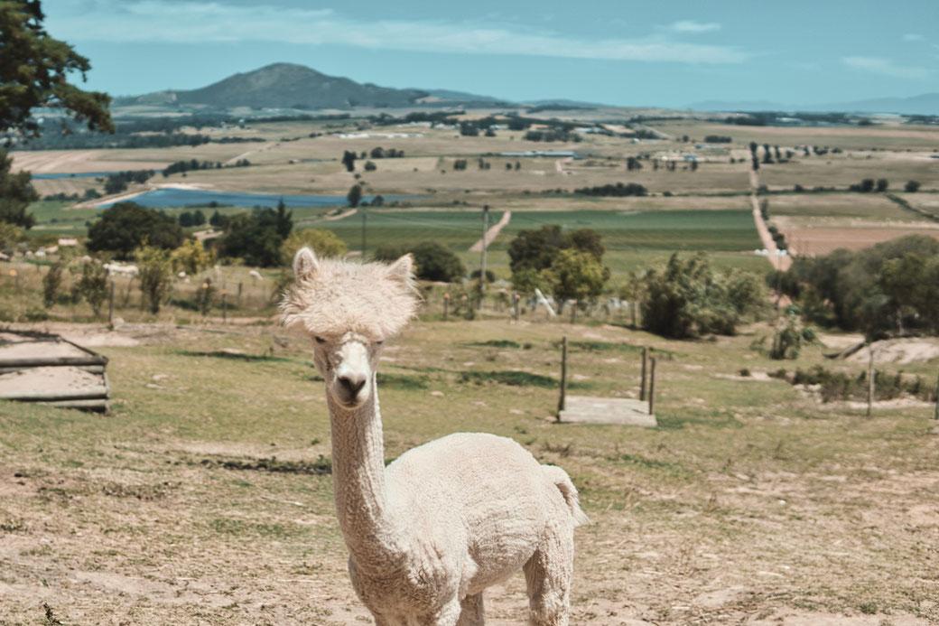 Alpaca auf einer Wiese