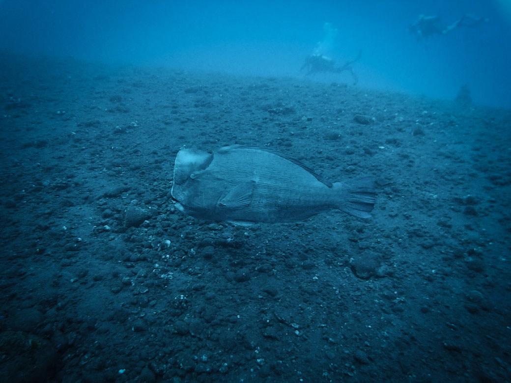 Büffelkopffisch