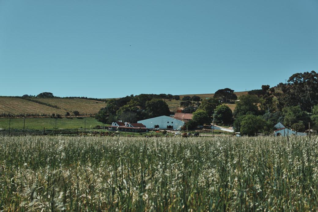 Middelvlei Wine Estate im Hintergrund, im vordergrund eine hochgewachsene Wiese