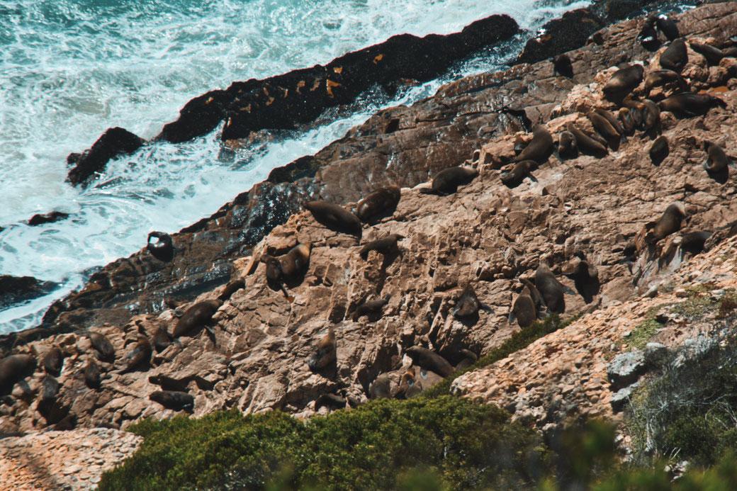 Seebären Kolonie auf Klippen direkt am Meer