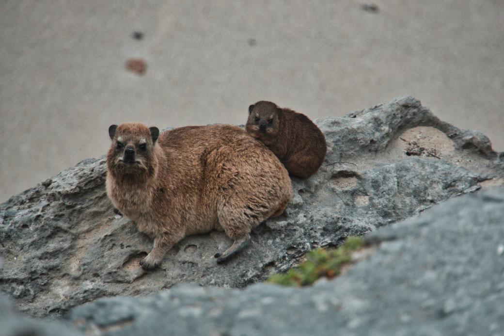 Eine Dassi Mutter sitzt mit ihrem Baby auf einem Felsen und schaut in die Kamera