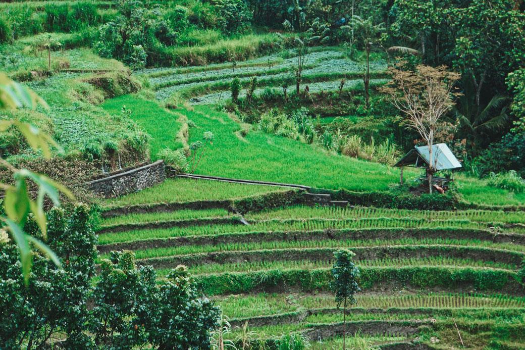 Reisfelder in Amed - Bali