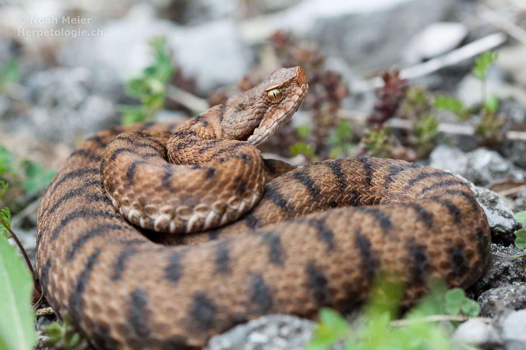 Eine weibliche Aspisviper aus einer allochthonen Population im Kanton Obwalden.
