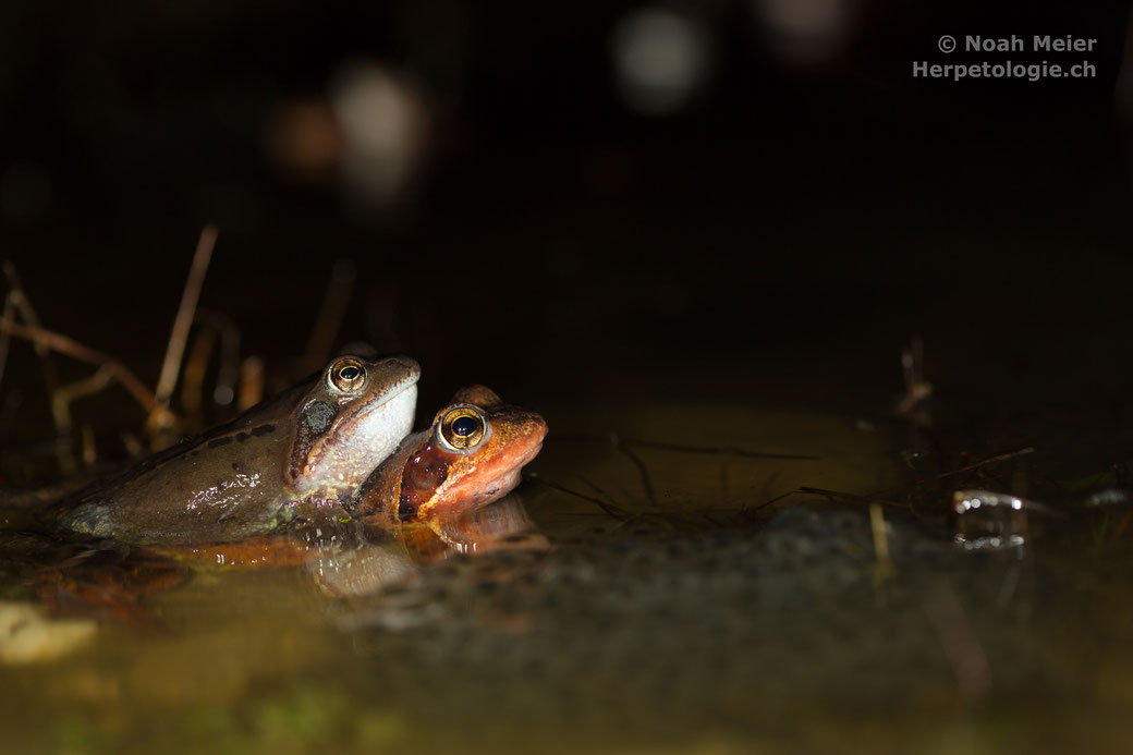 Männchen und Weibchen im Amplexus, davor liegt ein Laichklumpen.