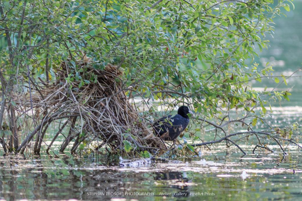 Ein während des Hochwassers Ende Juni erbautes Blässhuhn-Nest steht mittlerweile mit dem fallenden Wasserstand im Trockenen | Markelfinger Winkel, 16.07.2016, Foto: S. Trösch