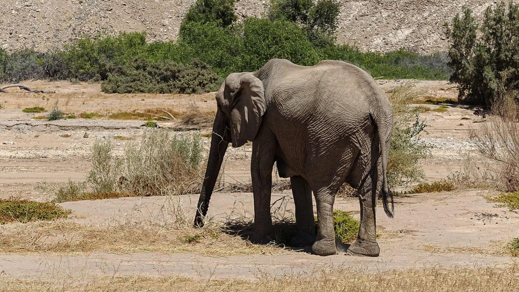 Eléphant du désert, Namibie, photo non libre de droits