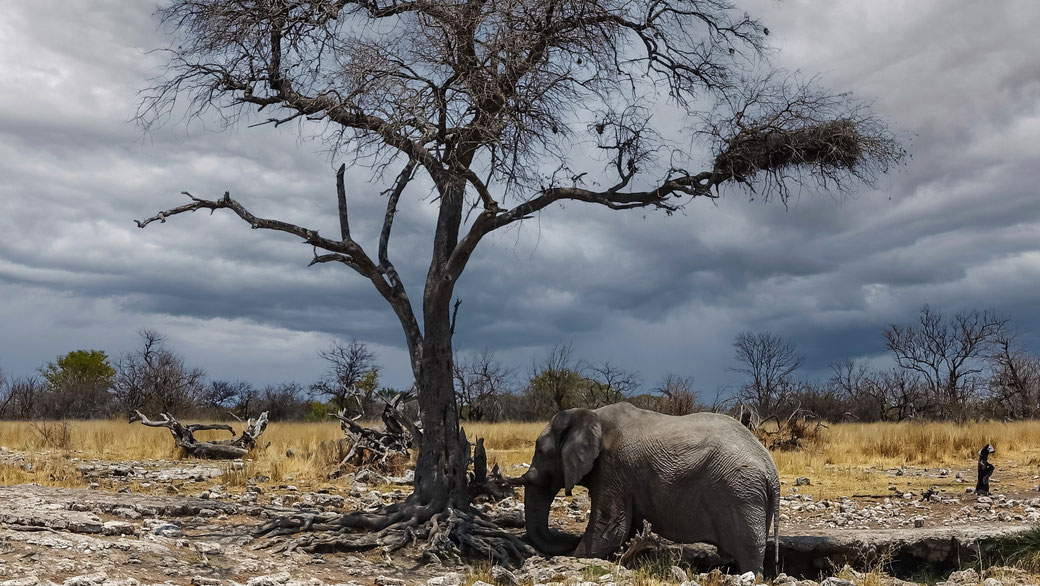 Eléphant solitaire, ETOSHA, photo non libre de droits