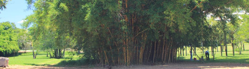 Bambus ist ein schnell wachsender Rohstoff