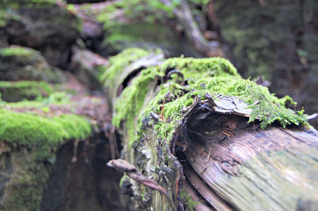 Ein mit Moos bewachsener Baumstamm - so natürlich wie die vegane Lippenpflege von lipfein.