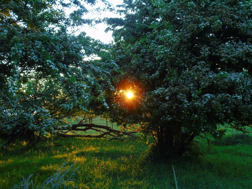 Wunderschöne Weißdornbäume mit einer Kugel Licht, nahe der Ostsee....  Der Weißdorn steht aus spiritueller Sicht für das Herz...