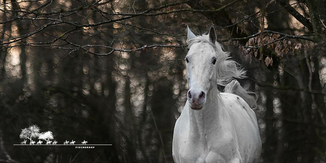 Wanderreiten Fischerhof, RossFoto Dana Krimmling, Wanderreitpferd Gaucho, Fischerhofpferde, Wanderreiten im Westerwald