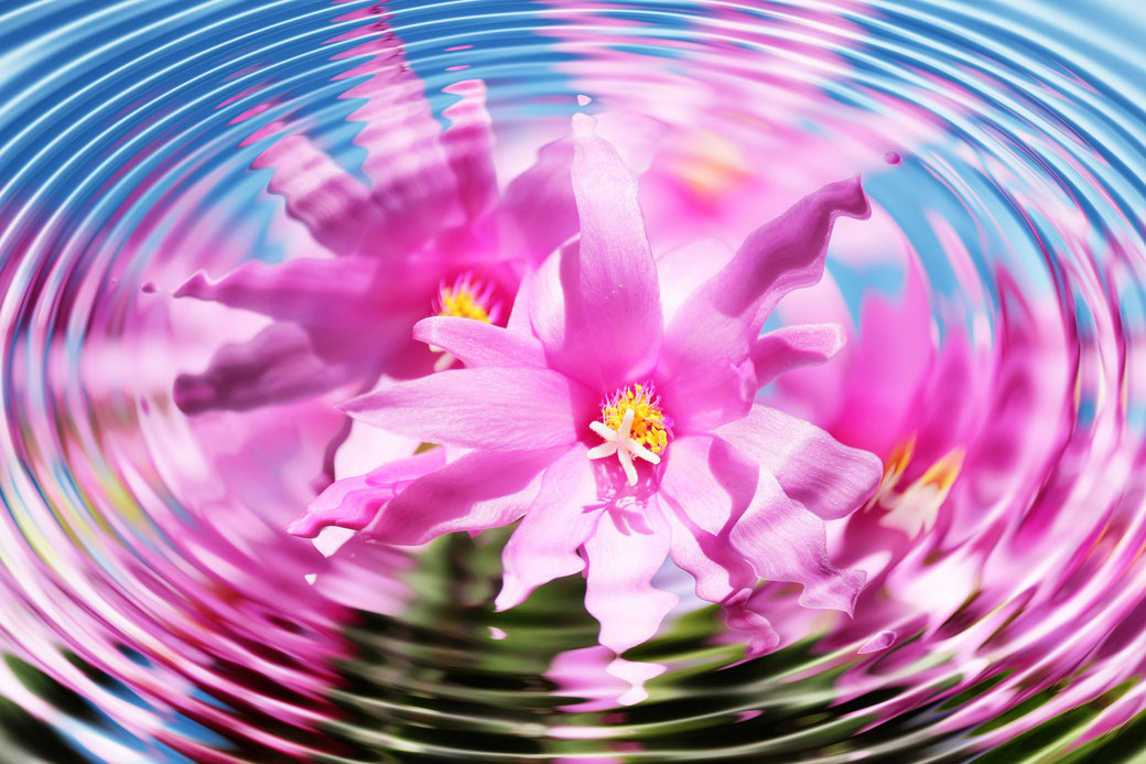 Floating pink flower ripples