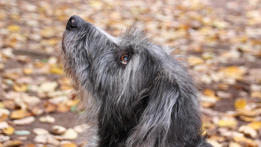Ein Hund mit grauem, strubbeligem Fell hat den Kopf gehoben. Zu sehen ist der Hundekopf im Profil.