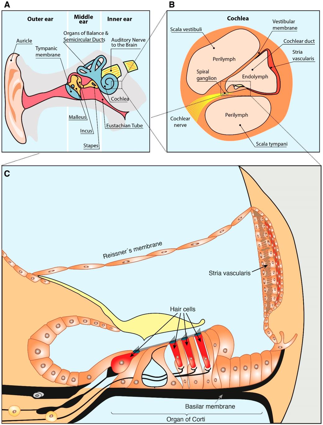 Figura 1. Dibujo esquemático de la anatomía del oído. (A) Compartimientos anatómicos del oído. (B) Cochlea anatomía. (C) Estructura de la escala coclear coclear. Basado en Sánchez-Calderón et al. [25] y Rivera T. et al. [26].