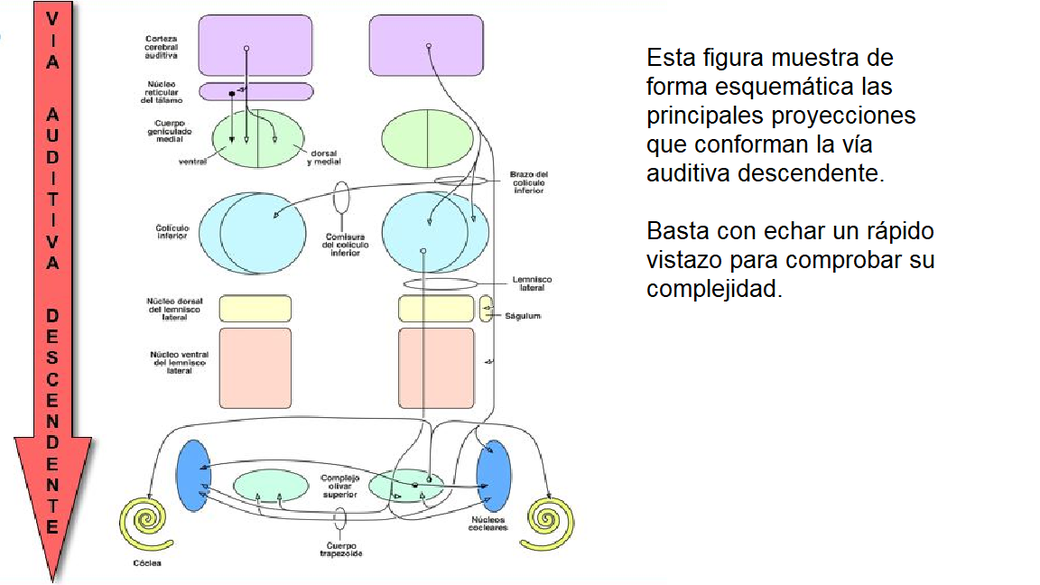 Proyecciones principales de la vía auditiva eferente o descendente. Enrique Saldaña, Insituto de Neurociencias de Castilla y León.