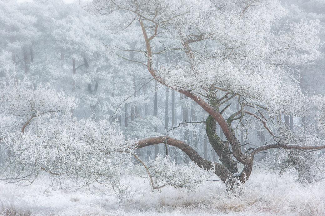 Mooie boom in een winterlandschap op het Fochteloereveen © Jurjen Veerman