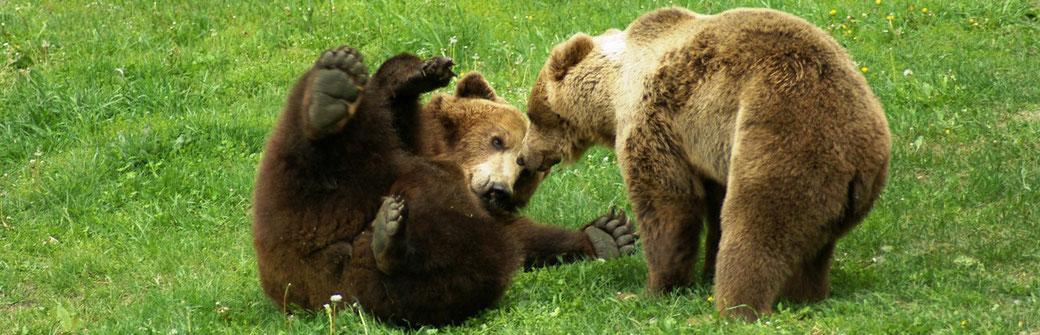 Dancing BearPark Belitsa, Bears Gosho and Mariana. © VIER PFOTEN International - FOUR PAWS International
