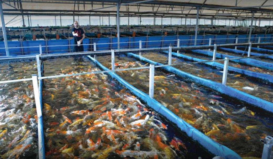 Hazorea Koi Farm