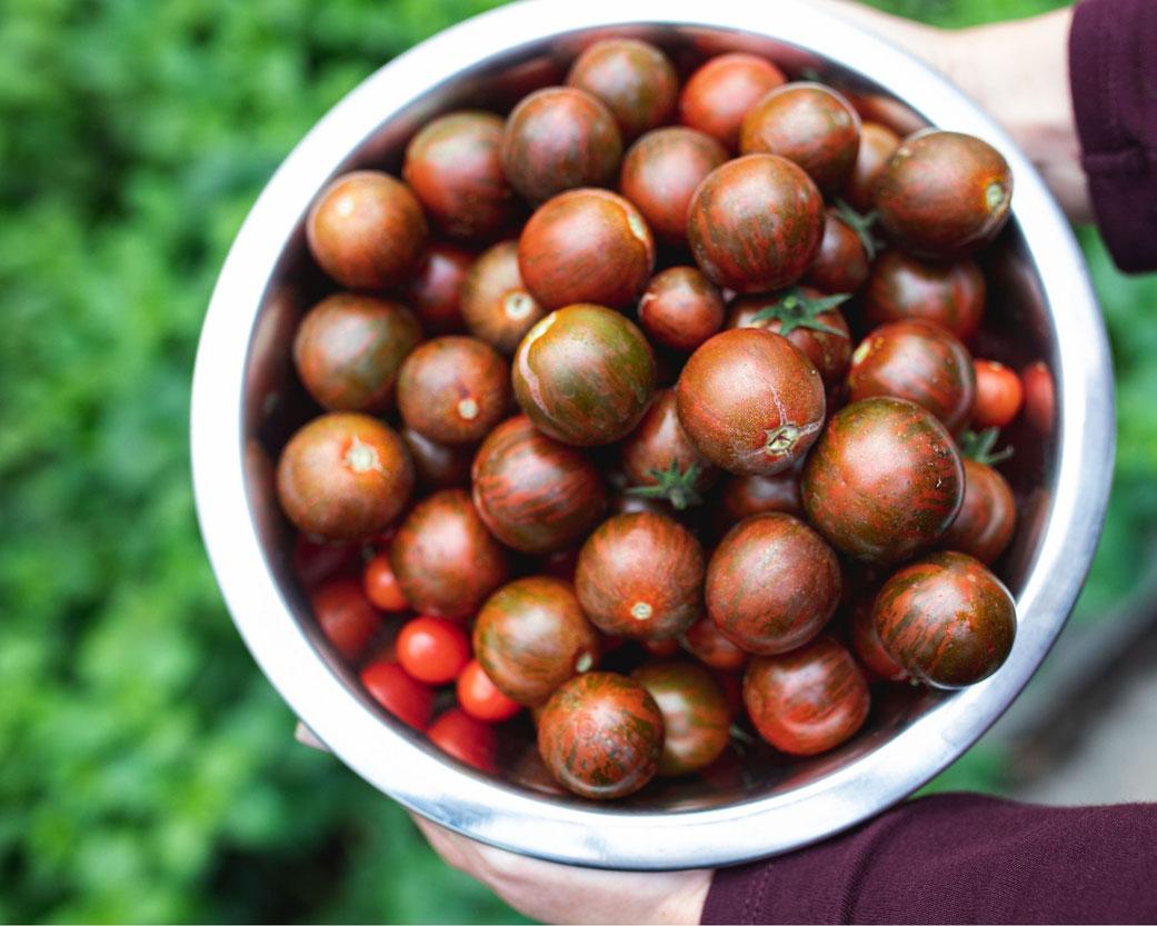 Tomatenernte mit unterschiedlichen alten Sorten