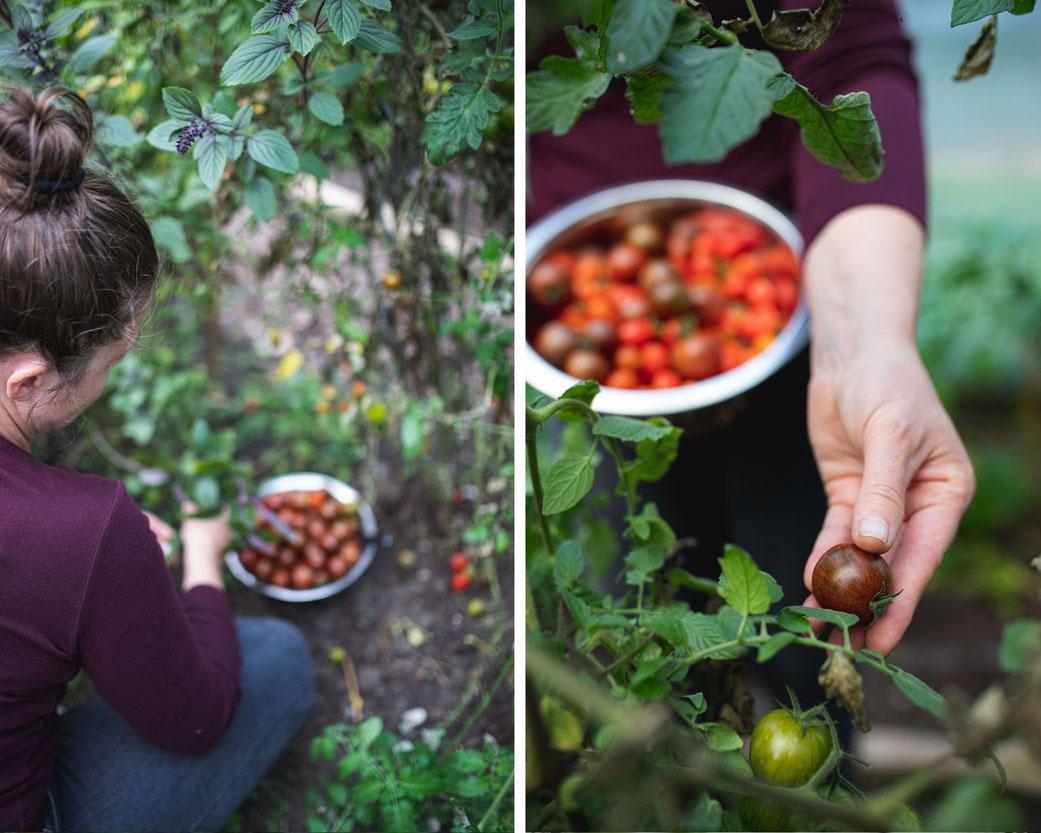 Wir ernten die Tomaten in unserem Gewächshaus per Hand