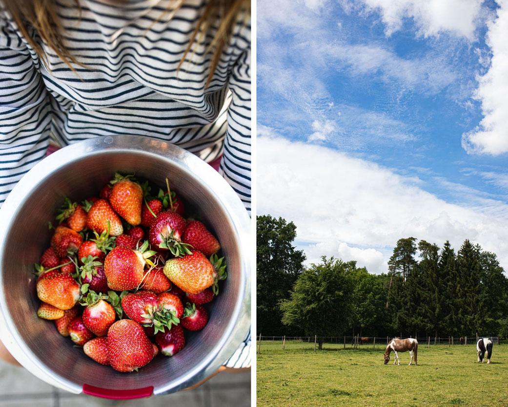 Frisch gepflückte Erdbeeren und Pferde auf der Sommerkoppel