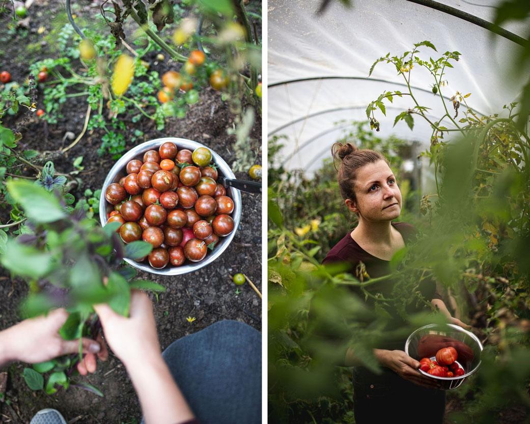 Tomatenernte in der Schüßel