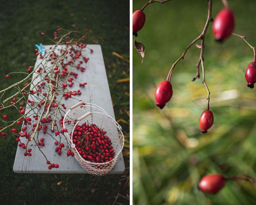 Hagebutten Ernte im Herbst
