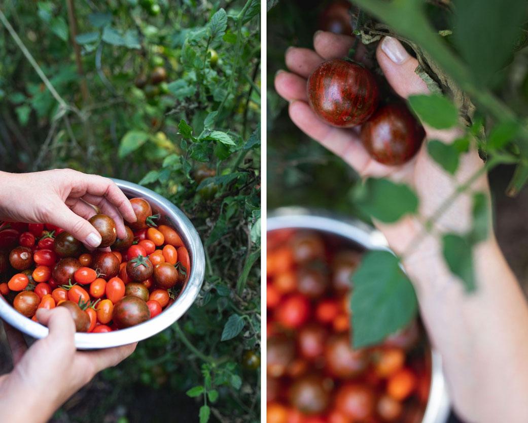 Wir ernten die letzten Tomaten um uns ein Stück Sommer zu konservieren