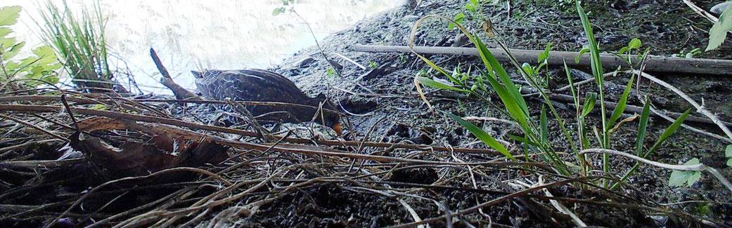 Tüpfelsumpfhuhn, Gwatt, 9. April 2020 Foto Jürg Buri