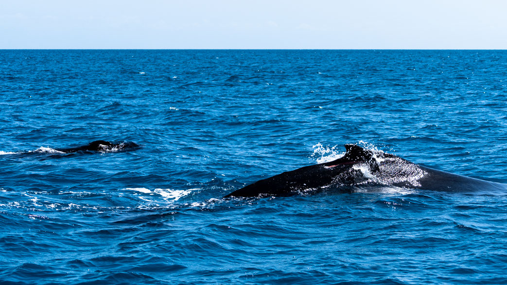 Mother and calf humpback whale at Fraser Island, Australia