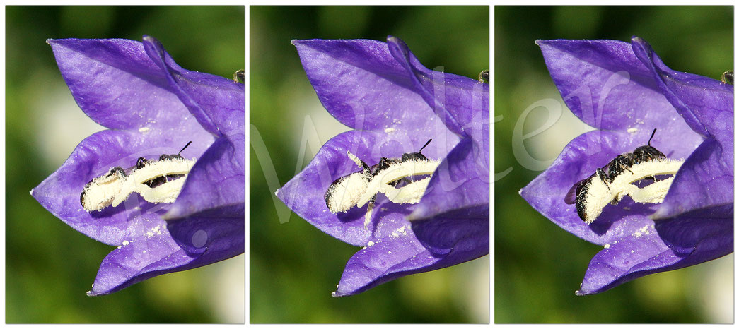 Bild: Glockenblumen-Scherenbiene, Osmia rapunculi, Weibchen an der Pfirsichblättrigen Glockenblume