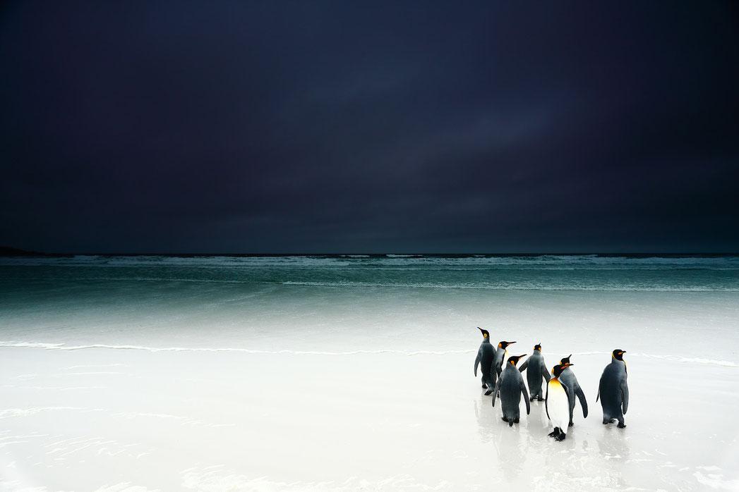 Manchot des Ïles Falkland, Stanley Leroux