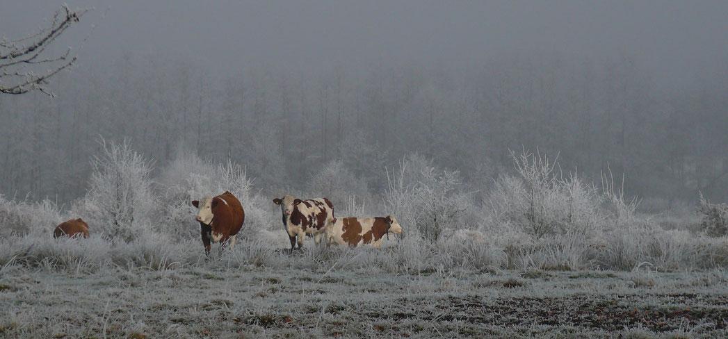 Kühe auf einer mit Raureif bedeckten Weide am Lindenhof