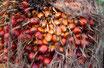 Palmkernöl raffiniert