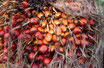 Palmöl desoderiert BIO