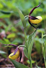 Cypripedium calceolus / Heimscher Frauenschuh starke Pflanze