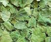 Bouleau - Jeunes feuilles / Birkenblätter - junge Blätter