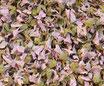 Guimauve - Fleurs / Eibischblüten
