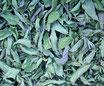 Menthe poivrée - Feuilles / Pfefferminze - Blätter