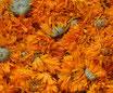 Souci - Capitules / Ringelblume mit Kelch - Blütenköpfe