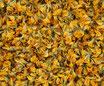 Lotier corniculé - Fleurs / Hornklee - Blüten