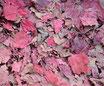 Vigne rouge - Feuilles / Rebe - Blätter