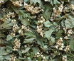 Aubépine - Bouquet / Weissdorn - Blüten und Blätter