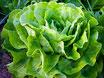 """Kopfsalat / Salat grün """"IT"""""""