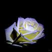 Rose - Hochwertiger Fotodruck auf leichter und stabiler Platte, Stärke: 5 mm, 3 verschiedene Größen lieferbar