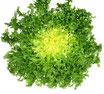 Salade chicorée frisée