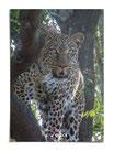 Im Auge des Leopard