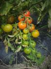 Tomate cherry mix