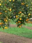 Naranja de mesa Navelina
