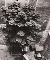 Kastanie im Hinterhof, Stargarder Straße, 1982